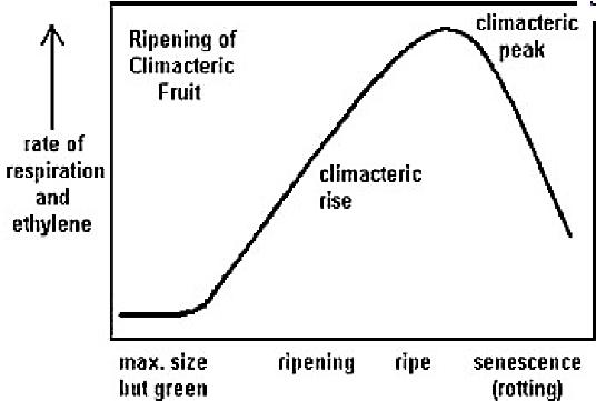 Climacteric vs Non-climacteric Ripening (Salveit, 2004