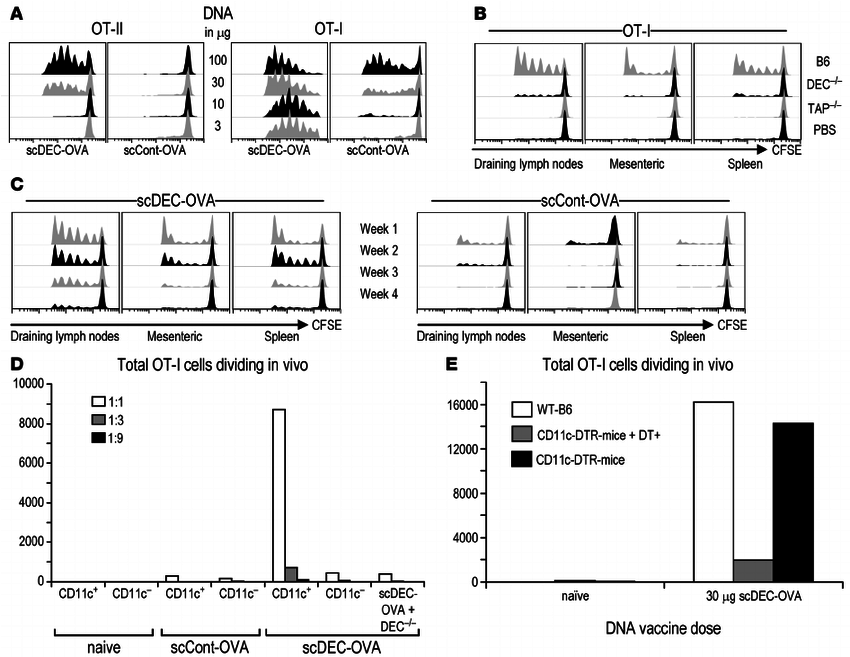 Antigen presentation to OVA-specific T cells following in
