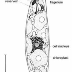 Euglena Cell Diagram With Labels Iveco Daily Radio Wiring Schematic Of Gracilis Download Scientific