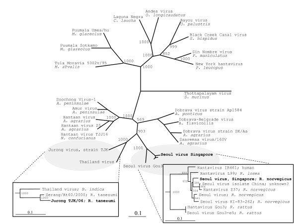 Phylogenetic trees of hantavirus M sequences. Phylogenetic trees ...