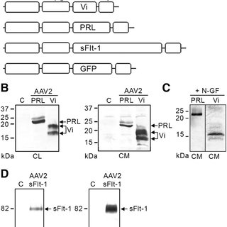 (PDF) Vasoinhibin Gene Transfer by Adenoassociated Virus