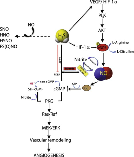Interactions of H2S and NO signaling pathways. H2S and NO