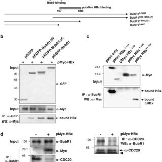 HBV X protein (HBx) interacts with BubR1. (a) In a yeast