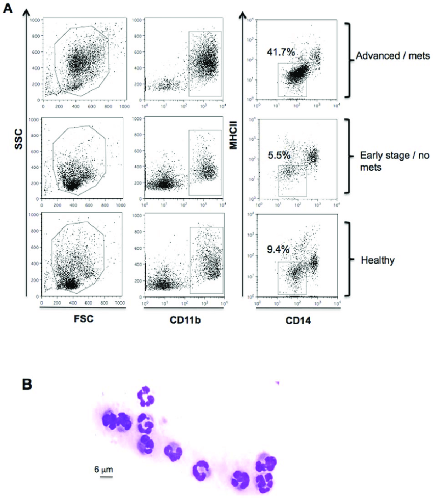hight resolution of immunophenotyping gating strategy and morphological analysis for mdsc identification in peripheral blood of dogs pbmcs from healthy dogs and dogs with