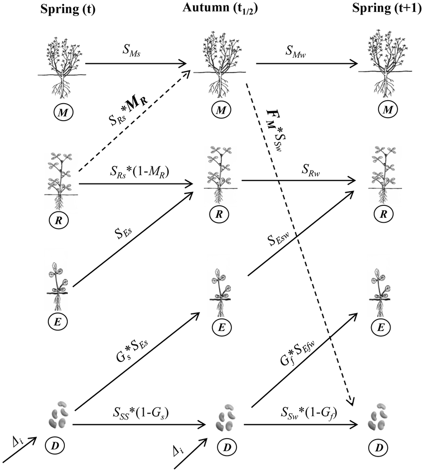medium resolution of life cycle diagram of feral alfalfa used in defining the alfalfa seed diagram