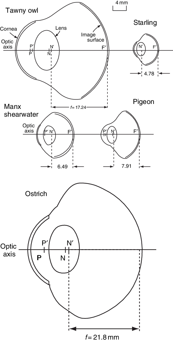 Scaled diagrams of the schematic eye models of five bird