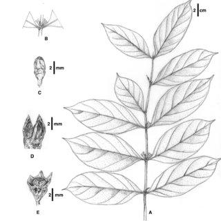 Pyrostria subsessilifolia (Merr.) Arriola & Alejandro