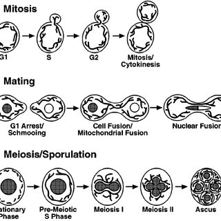 Mitochondrial dynamics during the life cycle of S