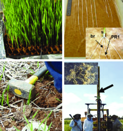 wheat plants used to measure root growth in the paper roll controlled environment screen  [ 720 x 1113 Pixel ]