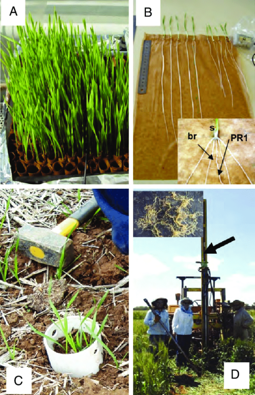 small resolution of wheat plants used to measure root growth in the paper roll controlled environment screen