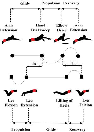Illustration of the arm and leg stroke phases in the