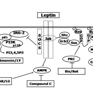 Summary schematic of the pathways regulating