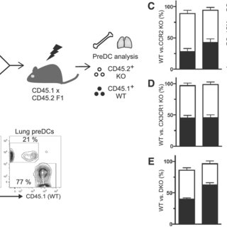 CCR2-and CX3CR1-dependent pre-DC accumulation in the lung