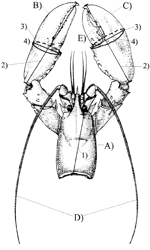 Lobster morphology, A) Carapace; B) Scissor-claw; C
