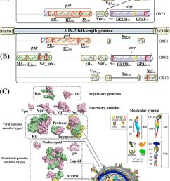gene maps and protein structures of hiv 1 and hiv 2 a schematicgene maps [ 850 x 1234 Pixel ]