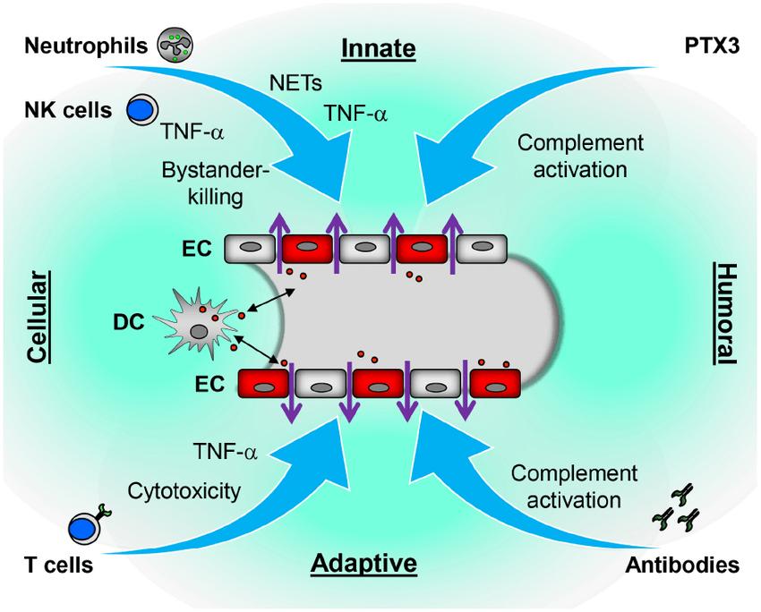 Proposed immune mechanisms contributing to hantavirus-induced ...