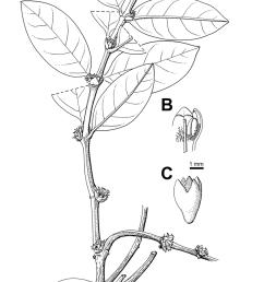 squamellaria vanuatuensis jebb c r huxley spec nov a habit showing the domatium b inner view of flower throat c hypanthium and calyx  [ 850 x 1578 Pixel ]