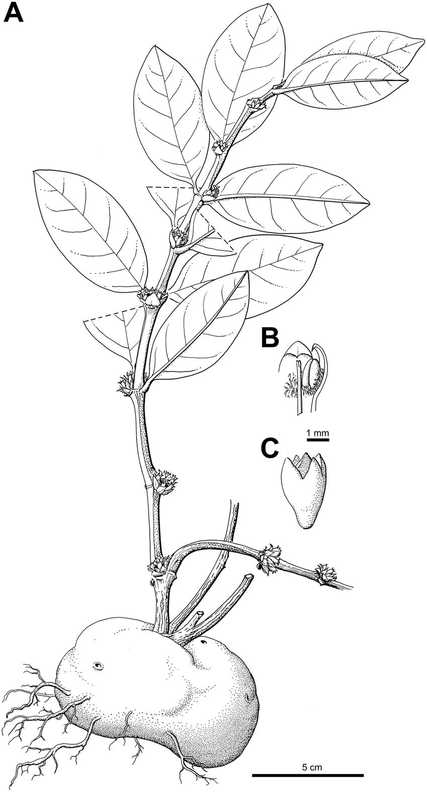 hight resolution of squamellaria vanuatuensis jebb c r huxley spec nov a habit showing the domatium b inner view of flower throat c hypanthium and calyx