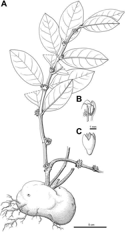 small resolution of squamellaria vanuatuensis jebb c r huxley spec nov a habit showing the domatium b inner view of flower throat c hypanthium and calyx