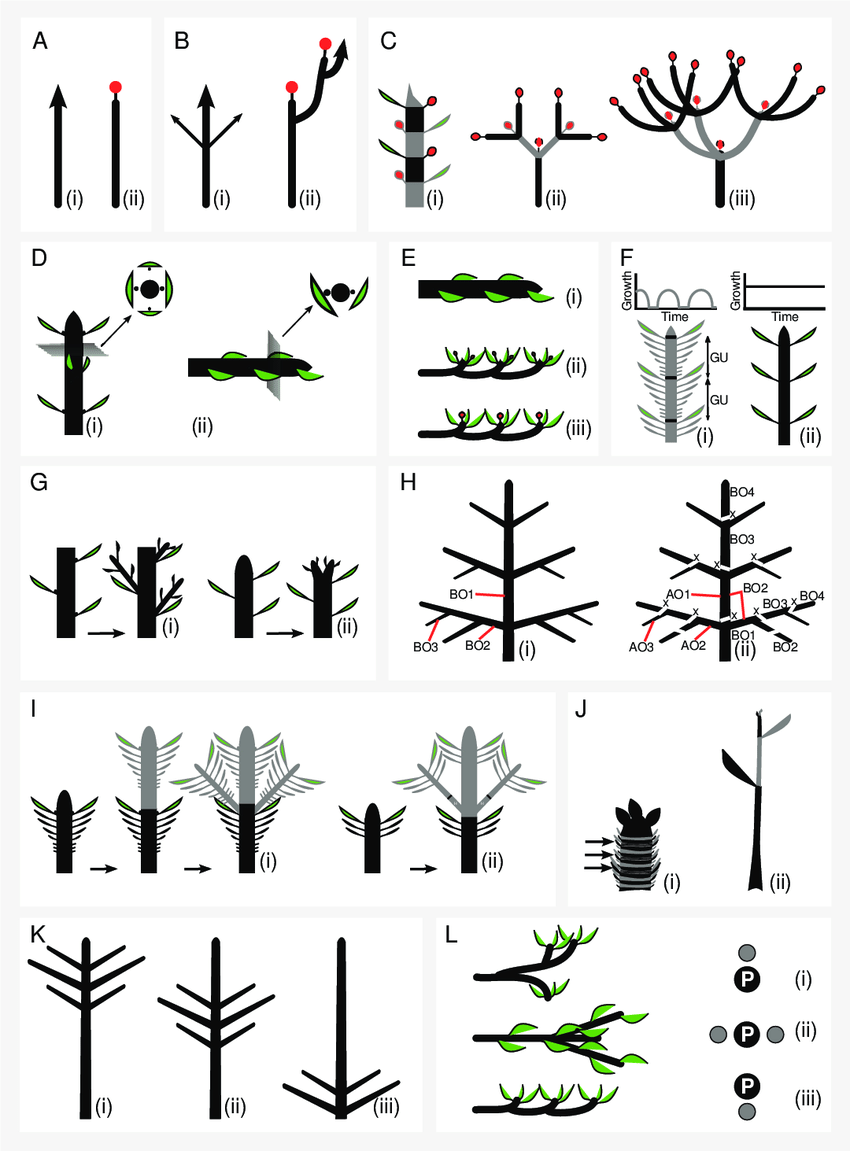 Main concepts in plant architecture. (A) Growth pattern