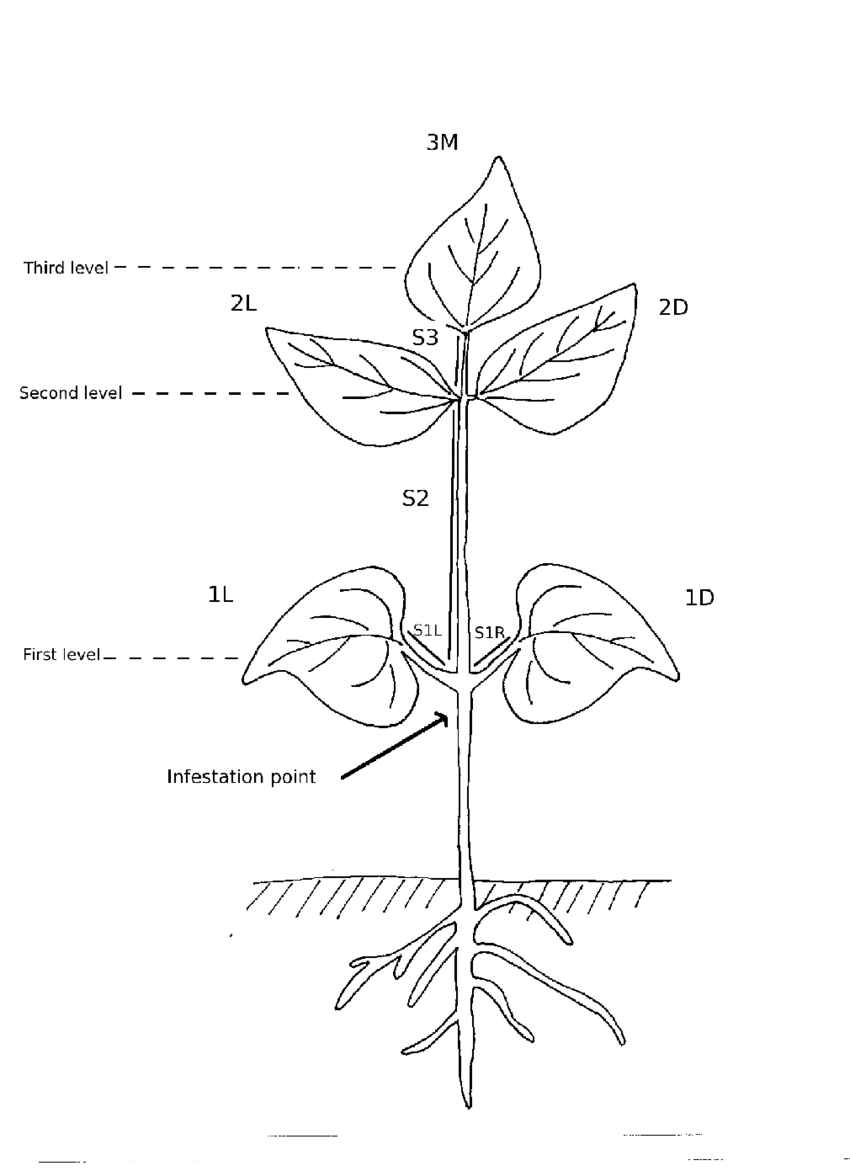drawing of a standardized bean plant used in our