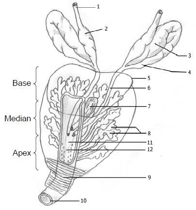 2: Representation of the prostate. 1: Vas deferens, 2