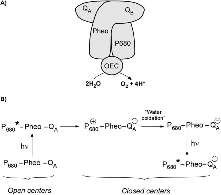 (A) Simplified scheme of electron transfers occurring in