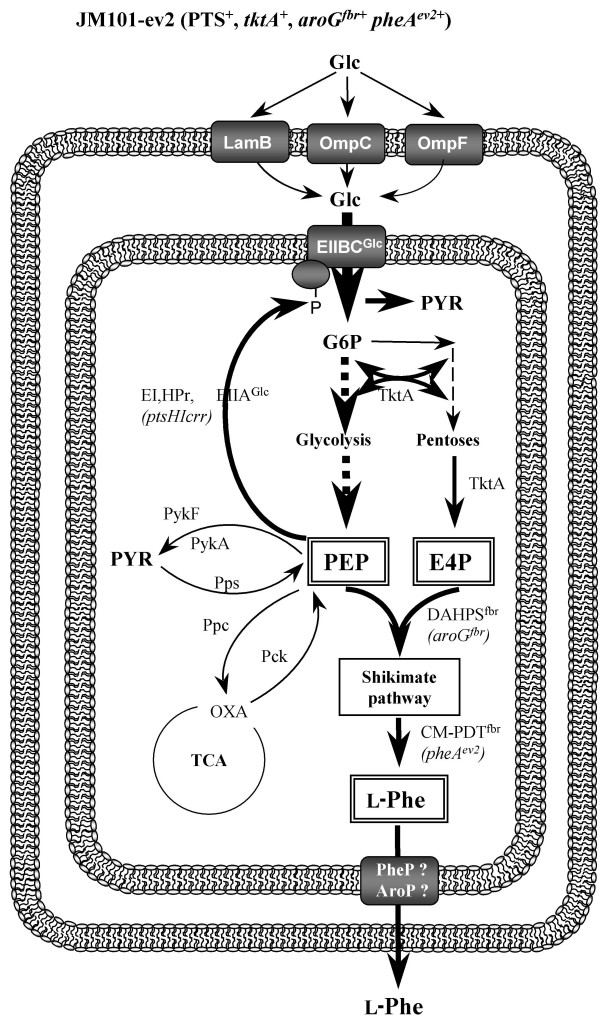 Glucose transport and central metabolism reactions in E