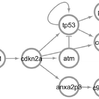 The resulting gene regulatory network for the p53 pathway