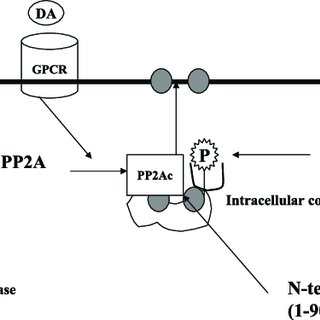 The Na,K-ATPase 1-subunit is a substrate for PP2A. The Na