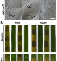 a in penetration assays with onion epidermal cells rare appressoria download scientific diagram [ 662 x 1243 Pixel ]