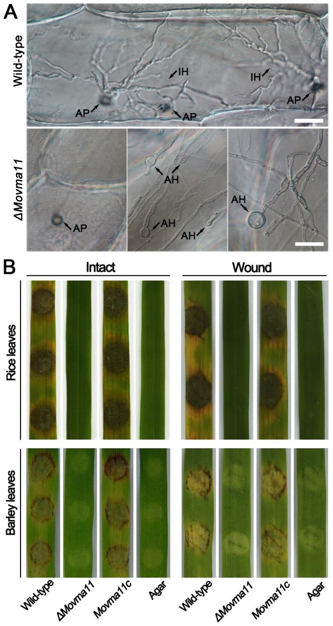 medium resolution of  a in penetration assays with onion epidermal cells rare appressoria download scientific diagram
