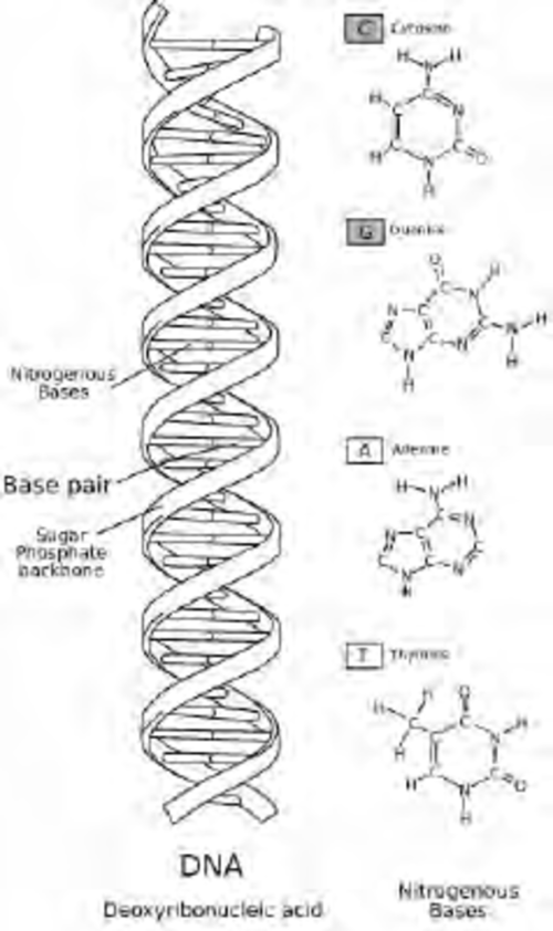 small resolution of dna is made of four nucleotide building blocks
