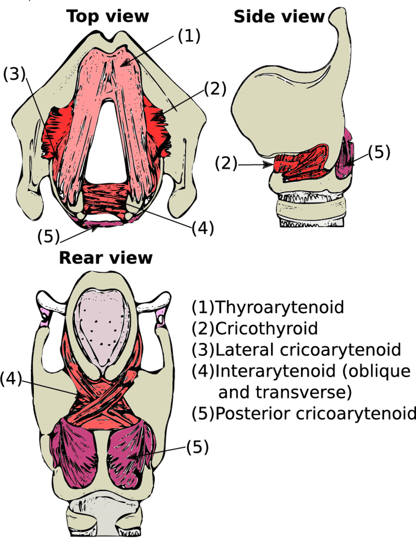 hight resolution of 3 intrinsic muscles of the larynx adapted from hixon et al