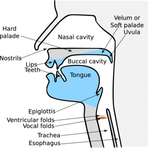 7: Schematic representation of the vocal tract with its