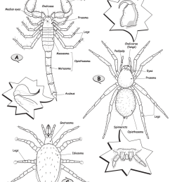 drawings of generalized arachnids class arachnida a scorpion order scorpiones  [ 850 x 997 Pixel ]