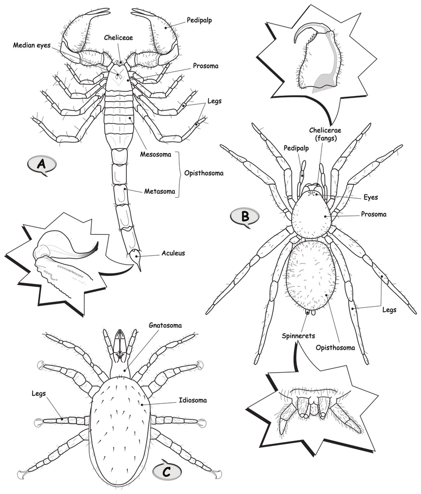 medium resolution of drawings of generalized arachnids class arachnida a scorpion order scorpiones