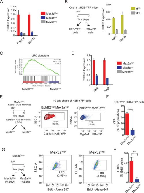 small resolution of mex3a expression identifies intestinal label retaining cells a mex3a identifies cells with elevated