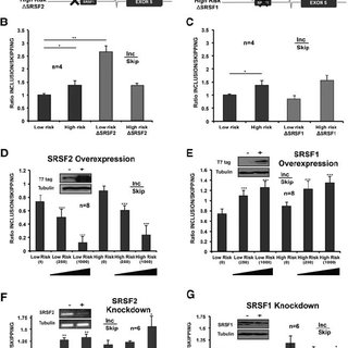 Effects of SRSF1/SRSF2 overexpression on OLR1 AS