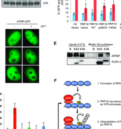 the prp19 complex promotes the recruitment of atr atrip to sites of dna damage a hct116 cells transfected with control prp19 or cdc5l sirna were treated  [ 788 x 1171 Pixel ]