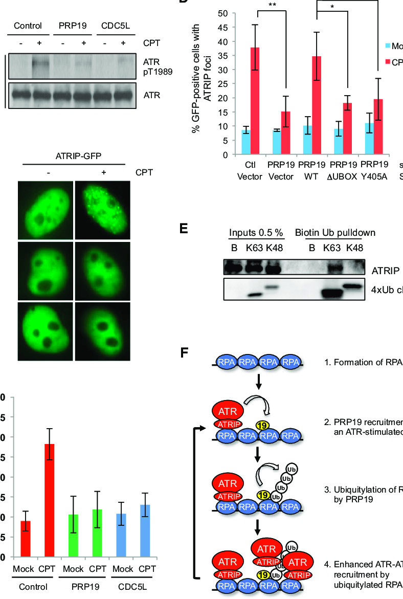 medium resolution of the prp19 complex promotes the recruitment of atr atrip to sites of dna damage a hct116 cells transfected with control prp19 or cdc5l sirna were treated