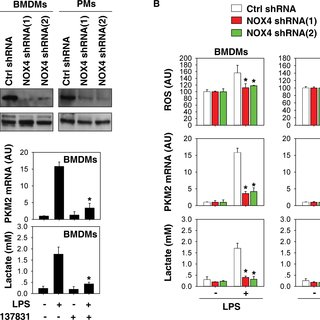 NOX4 is required for IL-1β and HMGB1 release in activated