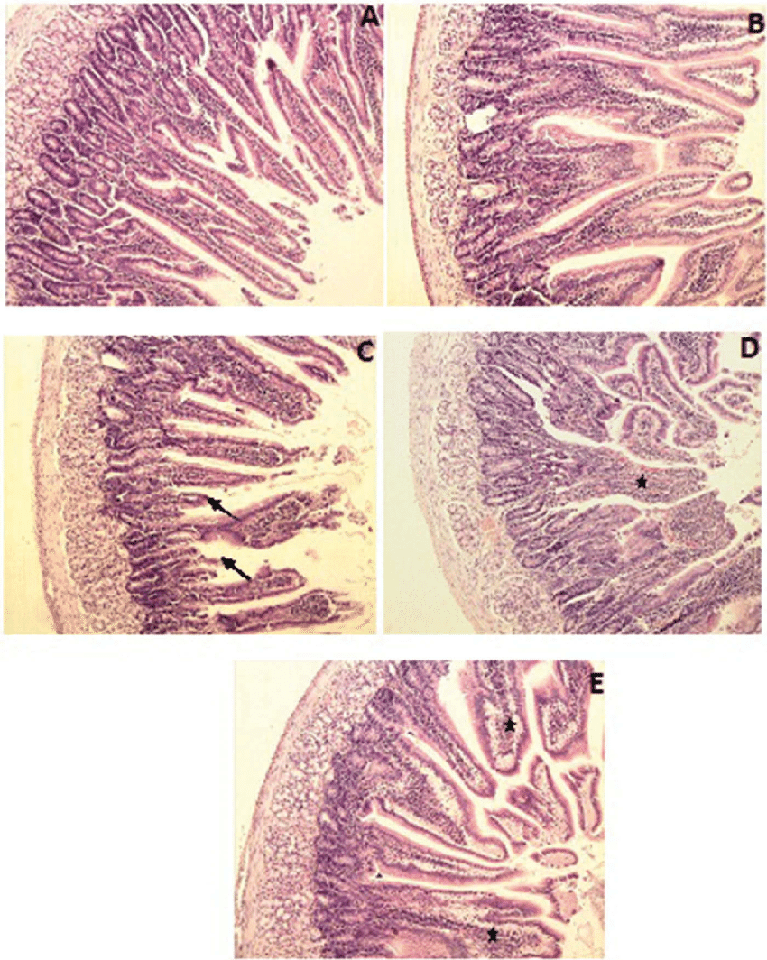 medium resolution of duodenum a b control and mel groups villi are long and normal