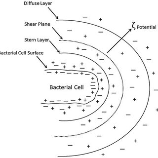 (PDF) Bacterial Cell-Mineral Interface, Its Impacts on