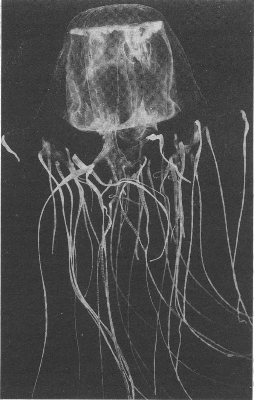 medium resolution of chironex fleckeri box jellyfish