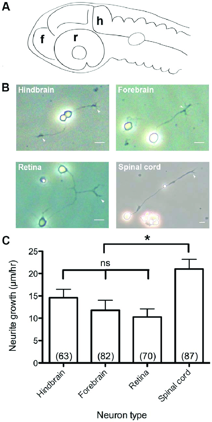 hight resolution of primary culture of cns neuron classes and growth rates in vitro a diagram