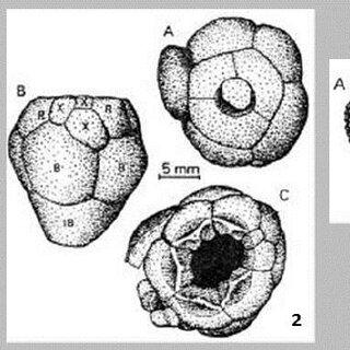 Middle Permian fusulinid foraminifera from West Sumatra. 1