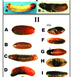 pupal abnormalities of house flies i larval pupal intermediates a the [ 850 x 1211 Pixel ]