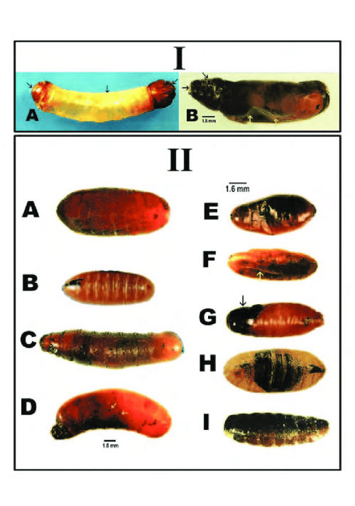 small resolution of pupal abnormalities of house flies i larval pupal intermediates a the