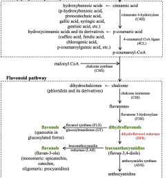 biosynthesis pathway of apple phenolic compounds  [ 850 x 1220 Pixel ]
